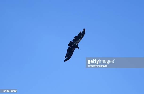 a california condor with identifying marks and tags on it's wings soars against a blue sky - timothy hearsum stock pictures, royalty-free photos & images