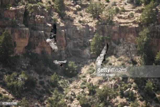 California Condors glides in the Grand Canyon National Park The condors have been successful brought back from near extinction One of the United...