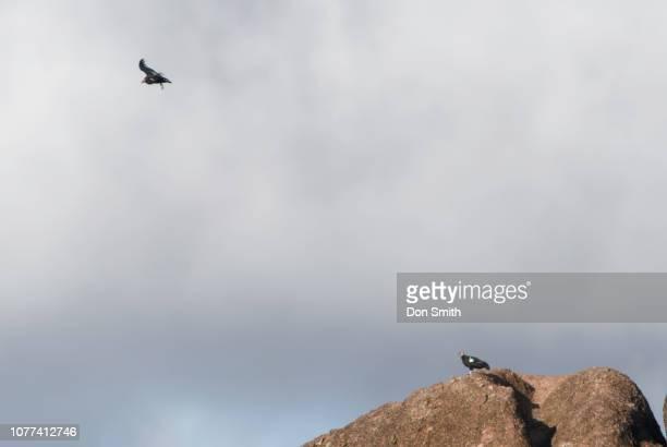 california condors resting and soaring - don smith stock-fotos und bilder