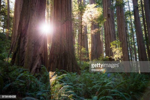 USA, California, Crescent City, Jedediah Smith Redwood State Park, Redwood trees against the sun