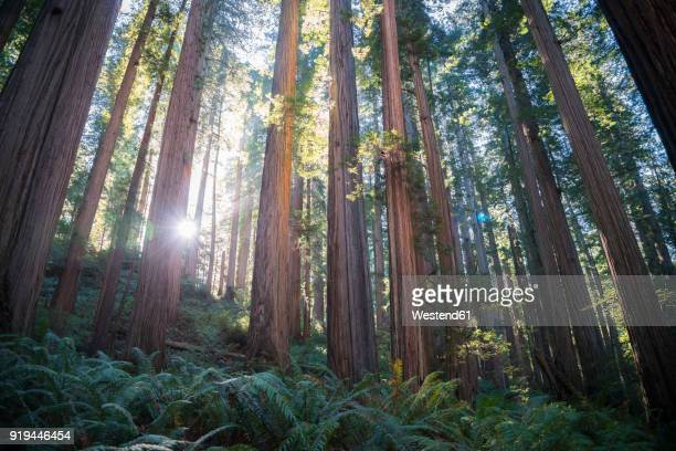 usa, california, crescent city, jedediah smith redwood state park, redwood trees against the sun - state park stock pictures, royalty-free photos & images