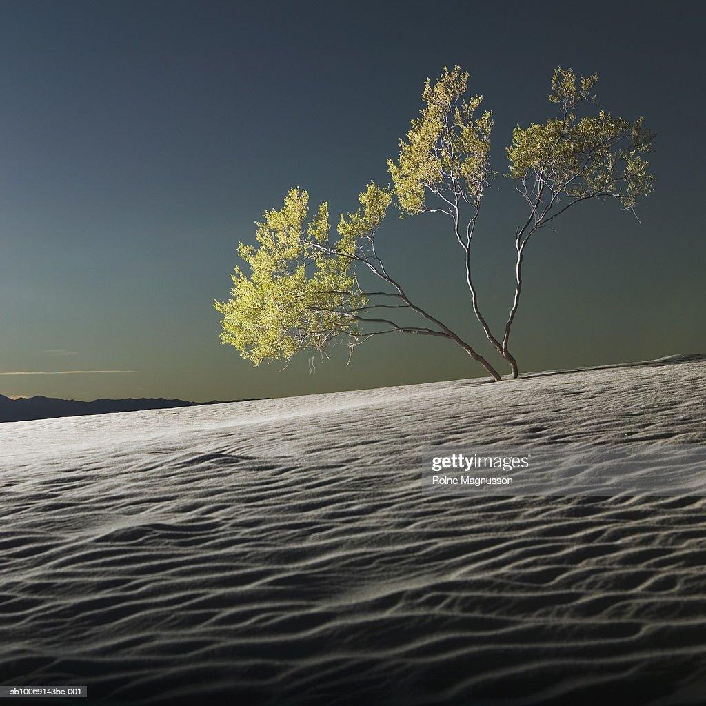 USA, California, Death Valley, tree in desert : Stockfoto