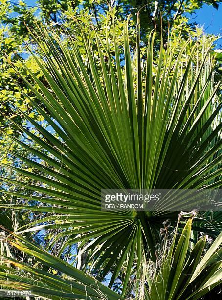 California Fan Palm leaves Arecaceae