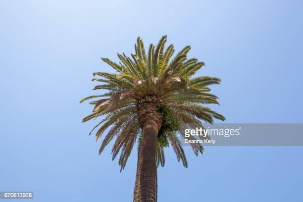 California Fan Palm Tree Against Azure Sky