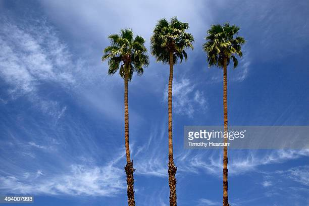 california fan palm trees (washingtonia filifera) - timothy hearsum stock pictures, royalty-free photos & images