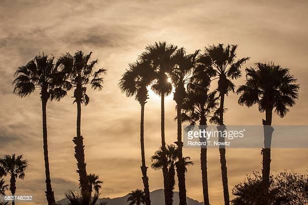 California Fan Palms