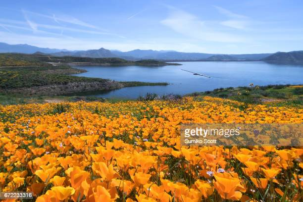 California Golden Poppies blooming in Diamond Valley Lake near Hemet, CA