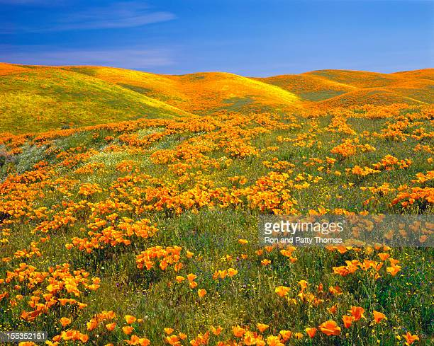 california golden poppies - poppy stock pictures, royalty-free photos & images