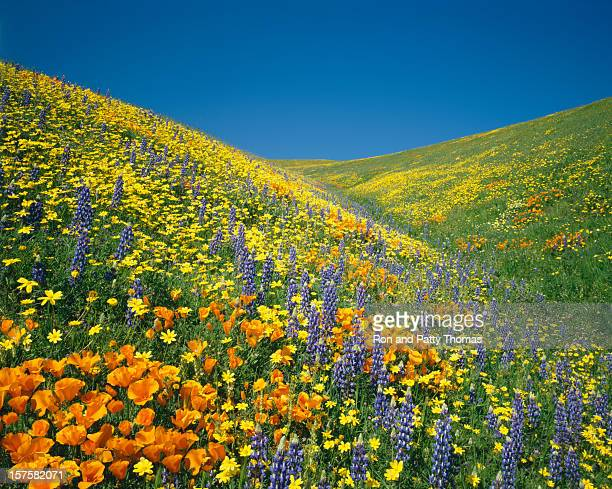 california golden poppies - california golden poppy stock pictures, royalty-free photos & images