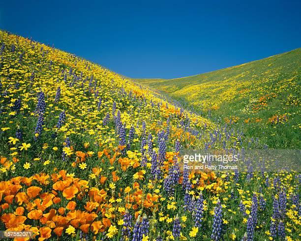 California Golden Poppies