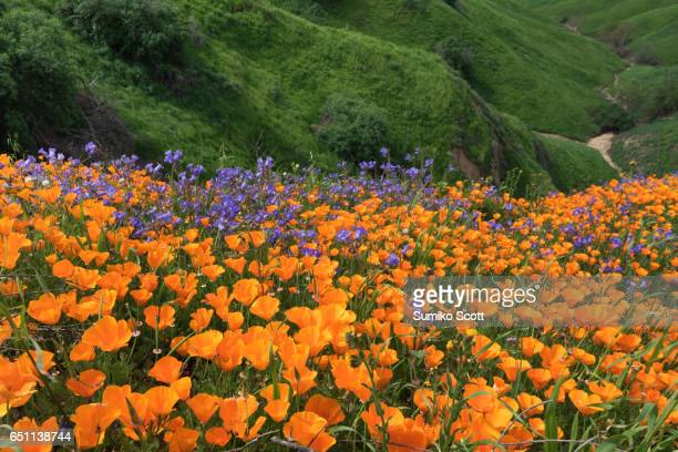 california golden poppy and phacelia minor blooming in chino hills state park, california - california golden poppy stock pictures, royalty-free photos & images