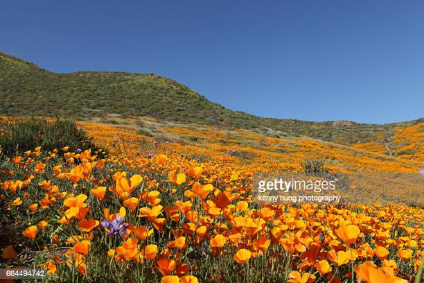california golden poppy bloom - california golden poppy stock pictures, royalty-free photos & images