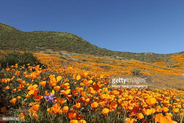 California Golden Poppy bloom