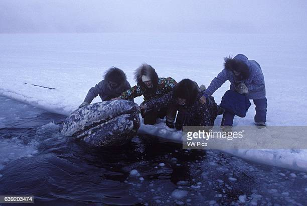 California Gray whaleEschrichtius robustusGray whales trapped in ice near Barrow Alaska October 1988 In a rescue effort a series of holes was cut in...