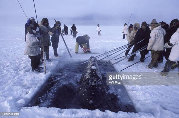 California Gray whaleEschrichtius robustusGray whales trapped in ice near Barrow Alaska October 1988 Rescue effort series of holes cut in the ice...