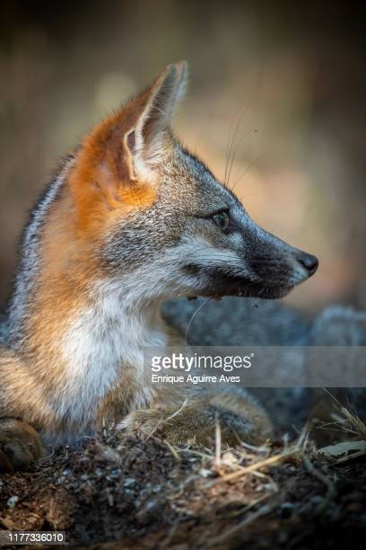 california grey fox (urocyon cinereoargenteus) - gray fox stock photos and pictures