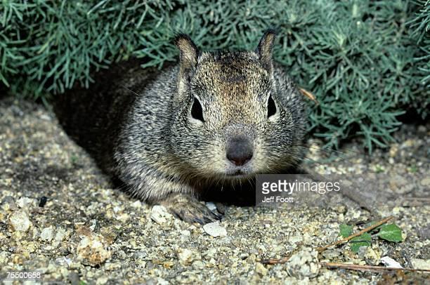 California ground squirrel (Spermophilus beecheyi) Fort Lobos State Reserve, California, USA