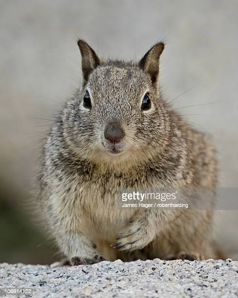 California ground squirrel (Citellus beecheyi), Joshua Tree National Park, California, United States of America, North America
