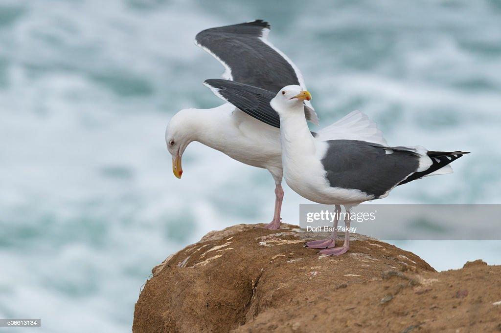 California gull (Larus californicus) : Stock Photo