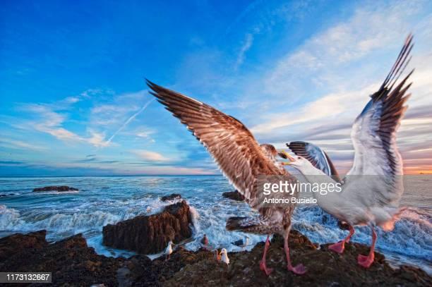 california gulls fighting - becco foto e immagini stock