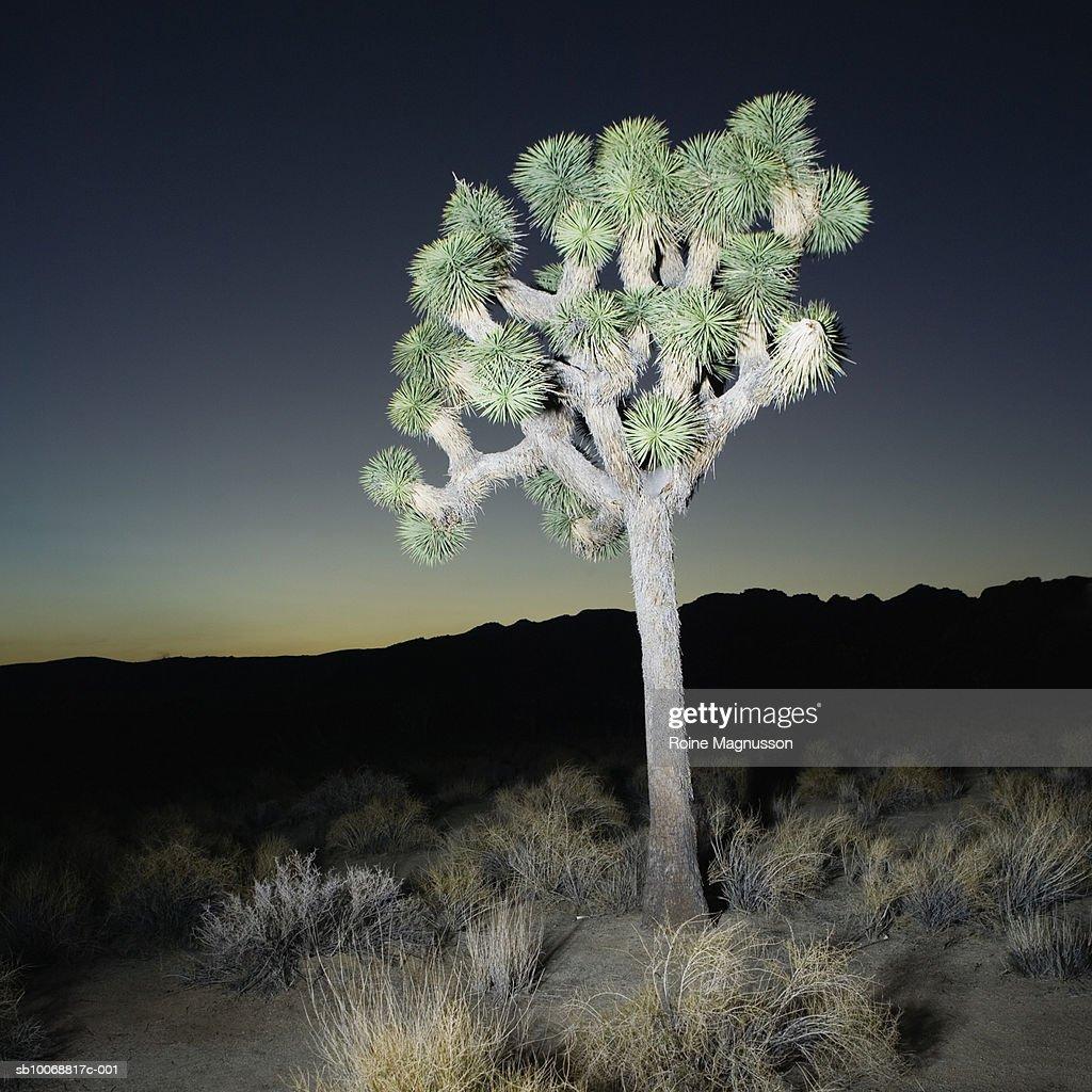 USA, California, Joshua tree in landscape at night : Stock Photo