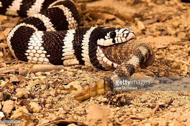 california kingsnake, lampropeltis getula californiae, eating a rattlesnake. controlled situation - kingsnake stock photos and pictures