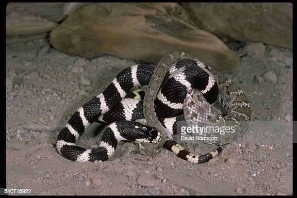 California Kingsnake Vs Red Rattlesnake