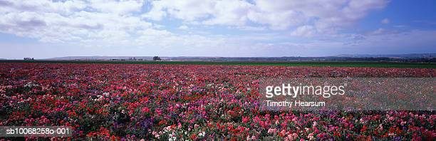usa, california, lompoc, field of sweet peas - timothy hearsum stock pictures, royalty-free photos & images