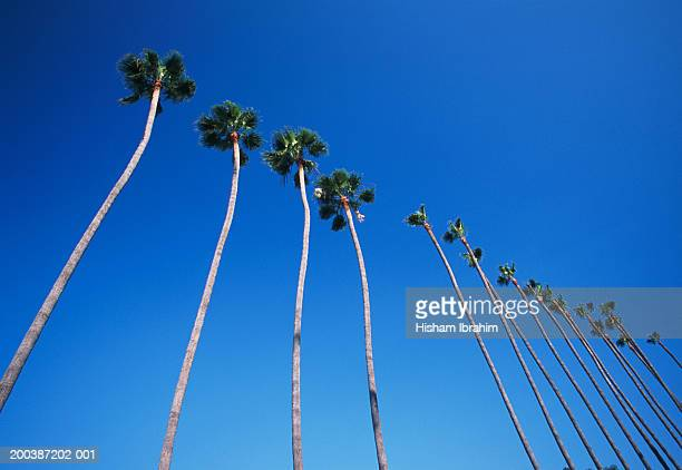 USA, California, Los Angeles, palm trees lining Hollywood Boulevard, low angle view