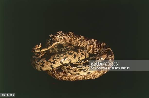 USA California Mojave Desert Bull Snake