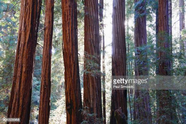 california, muir woods national park, tall trees in forest - muir woods stock photos and pictures