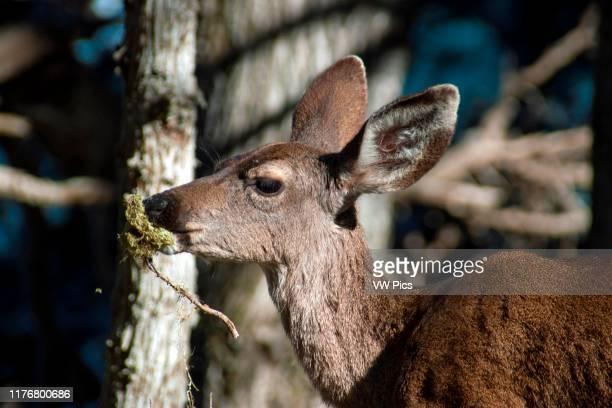 California mule deer Odocoileus hemionus californicus roams at the Point Lobos Natural Reserve CarmelbytheSea California USA