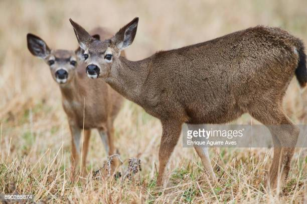 Mule Deer Stock Photos and Pictures | Getty Images