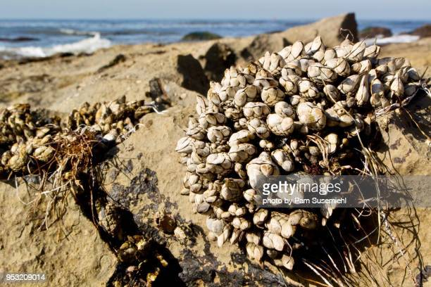 california mussel crusted rocks - rancho palos verdes stock pictures, royalty-free photos & images