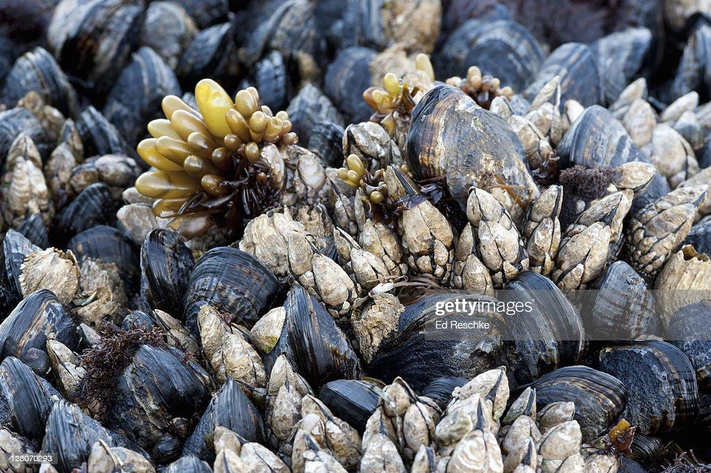California Mussel (Mytilus californianus), Goose Barnacle (Pollicipes polymerus), Sea Sac (Halosaccion glandiforme) from the Pacific Coast, Olympic National Park, Washington, USA : Stock Photo