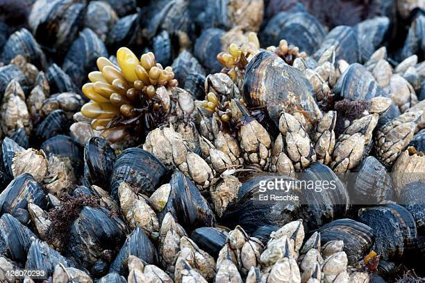 california mussel (mytilus californianus), goose barnacle (pollicipes polymerus), sea sac (halosaccion glandiforme) from the pacific coast, olympic national park, washington, usa - ed reschke photography stock photos and pictures