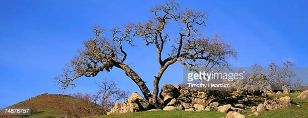 usa, california, near paso robles, oak tree in outcropping of rock - timothy hearsum stock pictures, royalty-free photos & images