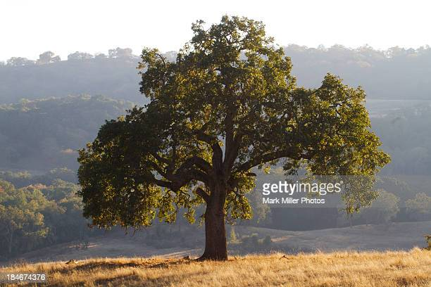 california oak tree - foothills stock pictures, royalty-free photos & images