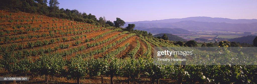 USA, California, Oakville, Vineyard : Stock Photo