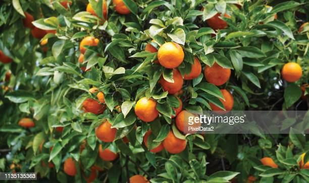 california orange tree - orange orchard stock photos and pictures