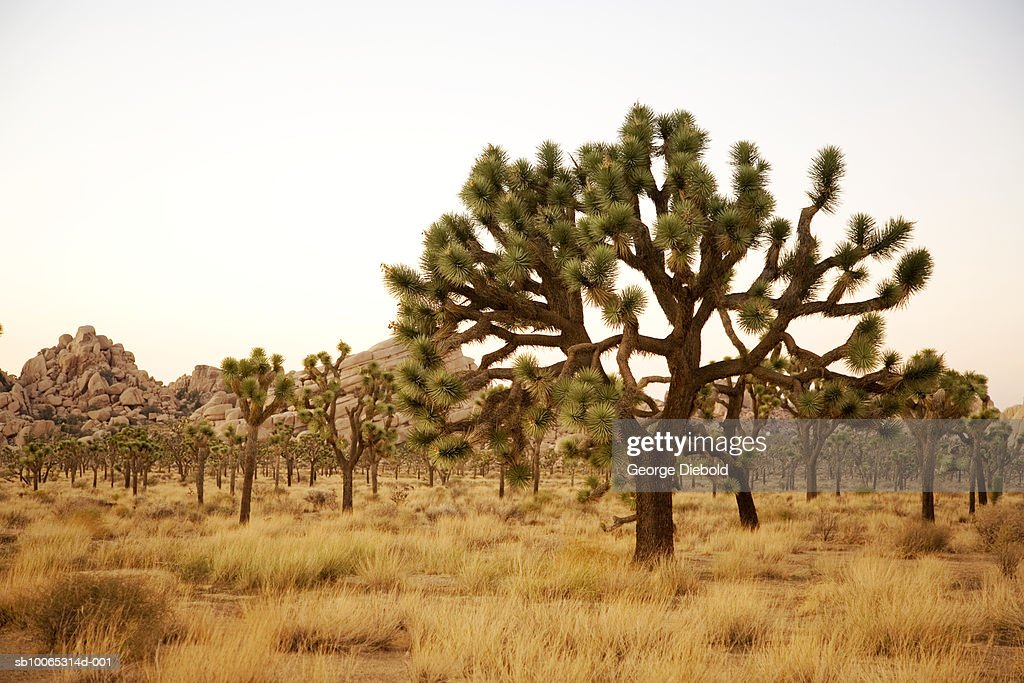 USA, California, Palm Springs, Joshua Tree National Forest : Foto stock