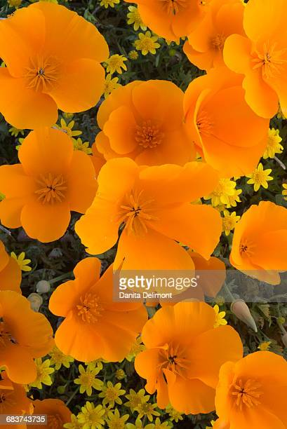 california poppies (eschscholzia californica) and goldfields (lasthenia californica) blooming in early spring in antelope valley, california, usa - california golden poppy stock pictures, royalty-free photos & images