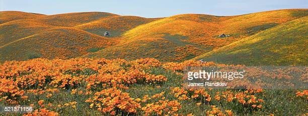 california poppies and rolling hills - california golden poppy stock pictures, royalty-free photos & images