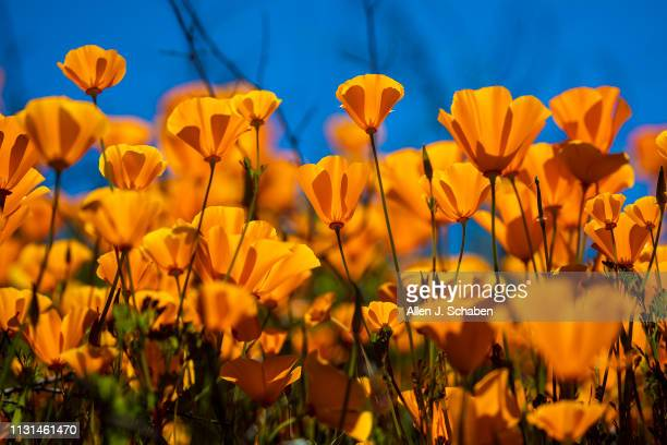 California Poppies are abundant at the Super Bloom Lake Elsinore Poppy Fields in Walker Canyon after the city closed the area on March 13 2019 in...