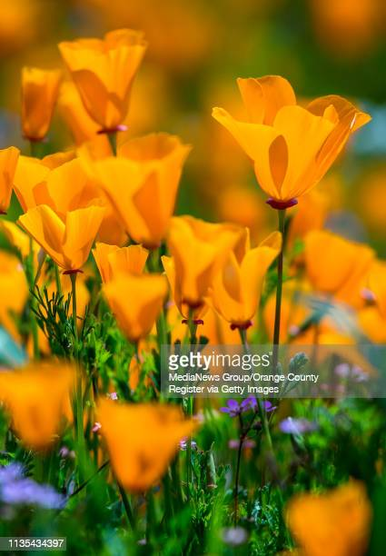 California poppies bloom along the Old Weir Canyon Trail in Santiago Oaks Regional Park in Anaheim Hills on Tuesday morning February 26 2019 Photo by...