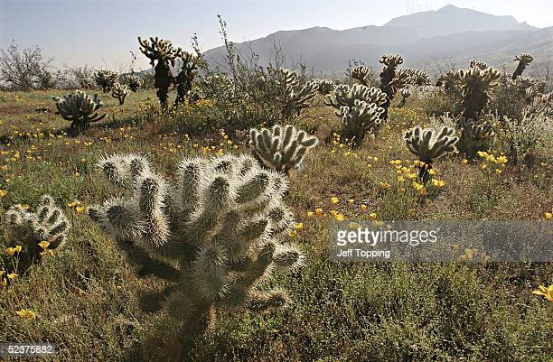 California poppies bloom amongst a stand of Teddy Bear Cholla cacti in South Mountain Community Park March 9 2005 in Phoenix Arizona Wildflowers like...