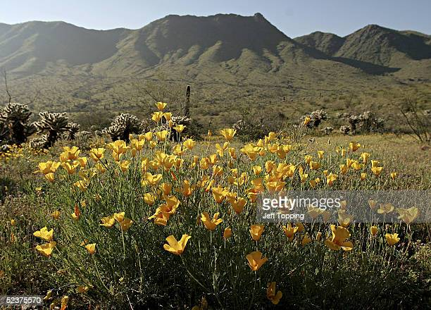 California poppies bloom in South Mountain Community Park March 9 2005 in Phoenix Arizona Wildflowers like the poppies are blooming in abundance this...