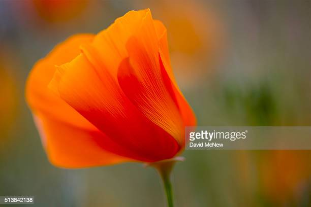 California poppies bloom near Caliente on March 4 2016 west of Tehachapi California Despite hopes that the major El Nino effect would bring...