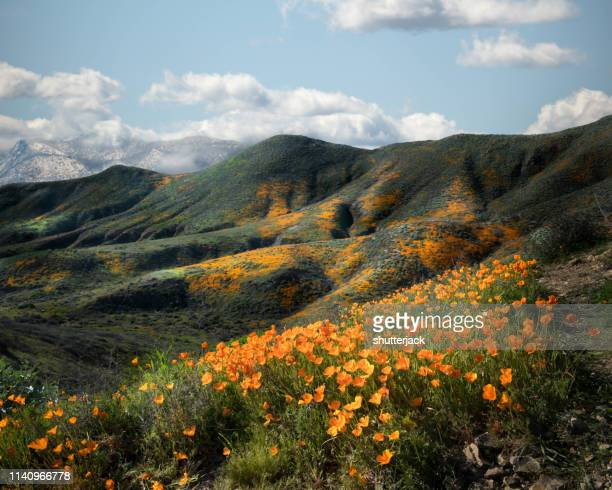california poppies blooming in foothills of riverside county, california, united states - california golden poppy stock pictures, royalty-free photos & images