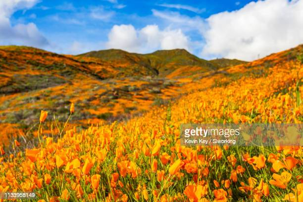 california poppies blooming in the hills of lake elsinore - california golden poppy stock pictures, royalty-free photos & images